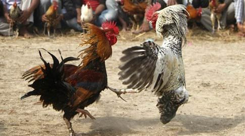 cockfights1