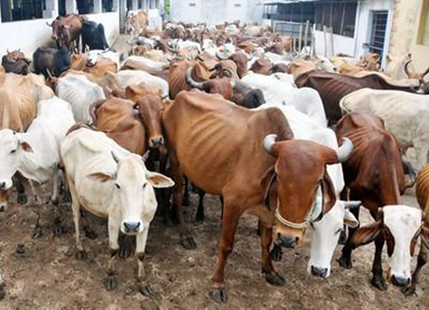 Cattle Slaughter Rules: Second Round Litigation in SC