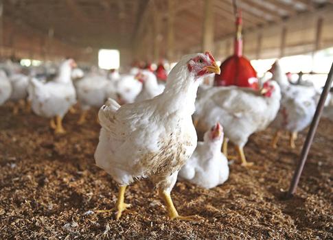 genetically-treated-chicken